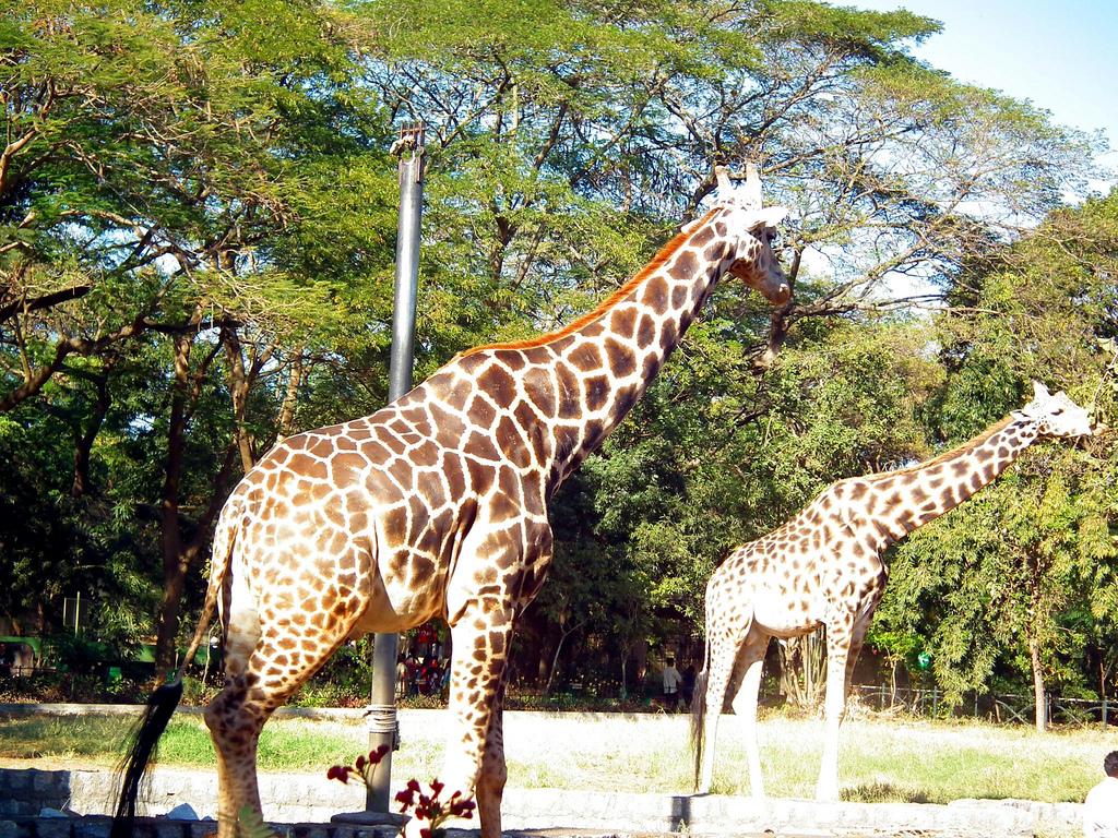 Two giraffe at mysore zoo