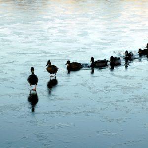 leadership ducks