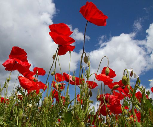 512px-Poppies_again_5_5781808652.jpg